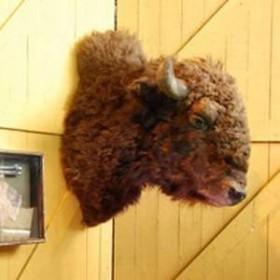 Tête de bison 80cm