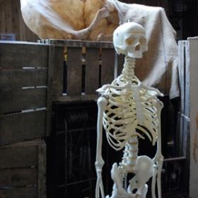 Squelette 167cm