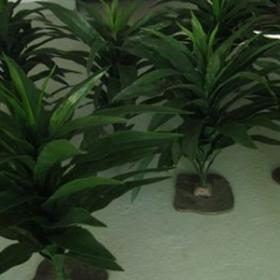 Plante Asplenium 76cm
