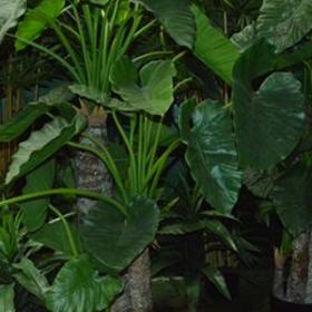 Plante Alocasia 171cm