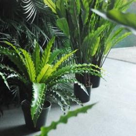 Plante 80cm