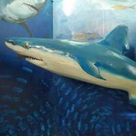 Requin 180cm