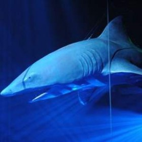 Requin blanc 530cm