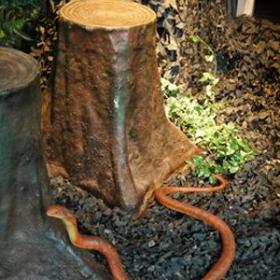 Serpent cobra 20cm