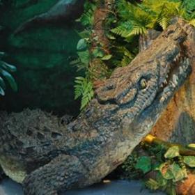 Crocodile 50cm